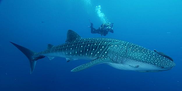 el-tiburon-ballena