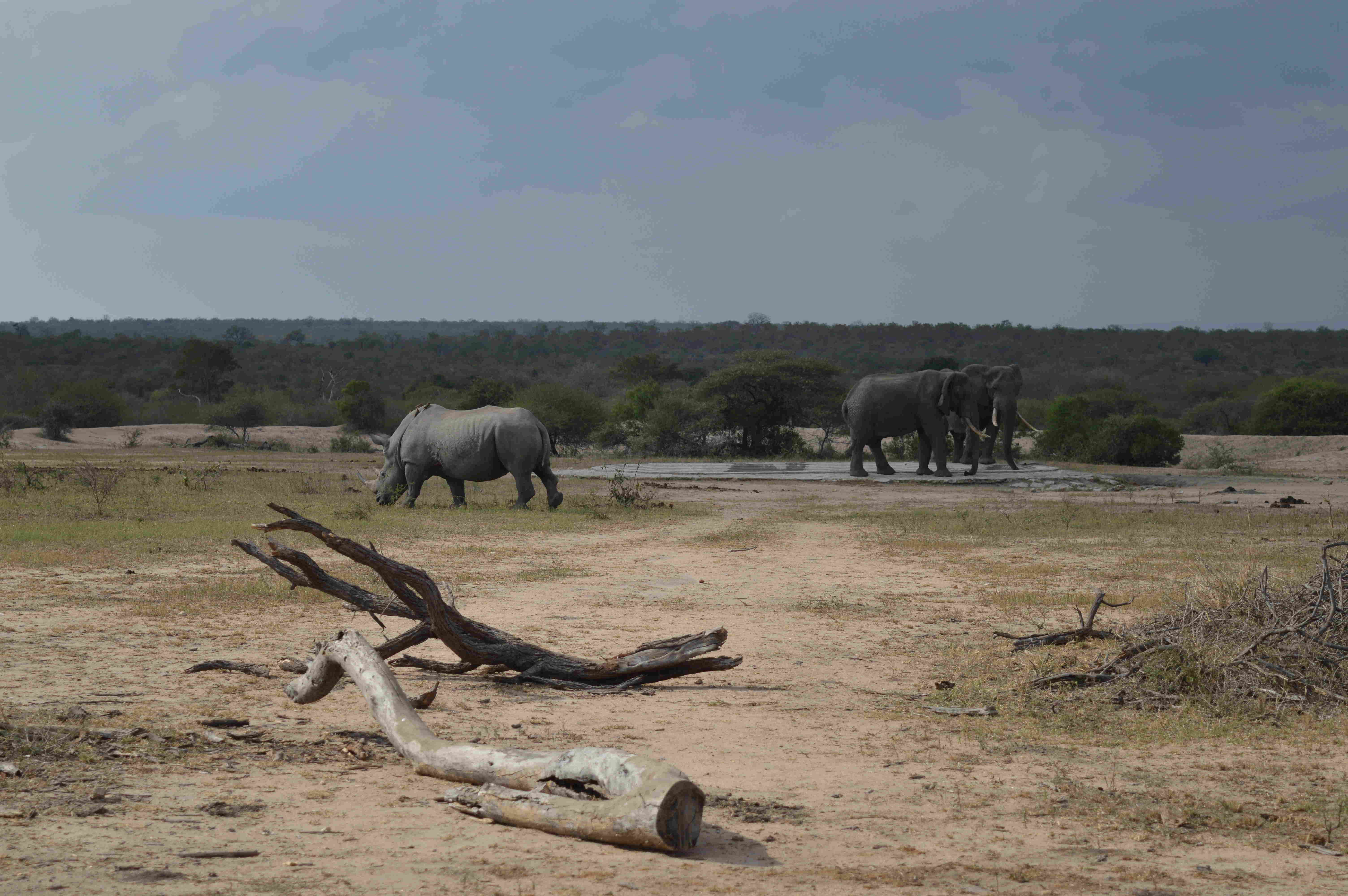 rinoceronteelefantes