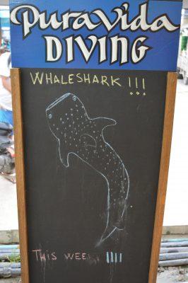 pura vida koh tao buceo tiburón ballena